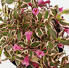 Weigela florida  Monet ('Verweig') (PBR)