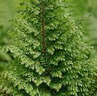 Polystichum setiferum Plumosomultilobum Group