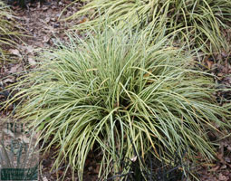 Click to view product details and reviews for Carex Oshimensis Aposevergoldapos Sedge.