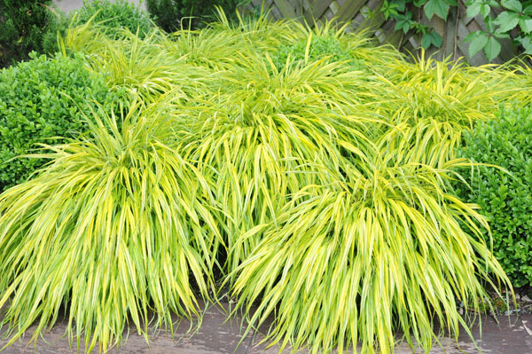 Buy golden hakonechloa hakonechloa macra 39 aureola 39 for Small ornamental grasses for sun