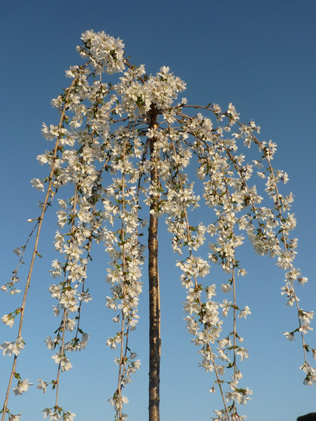 weeping Fuji cherry (syn. 'Snow Showers')