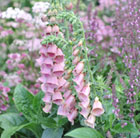 Digitalis × mertonensis