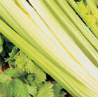 celery Golden Self-blanching Aurora