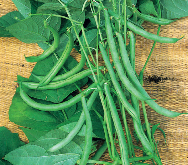 climbing French bean / Phaseolus vulgaris 'Blue Lake'