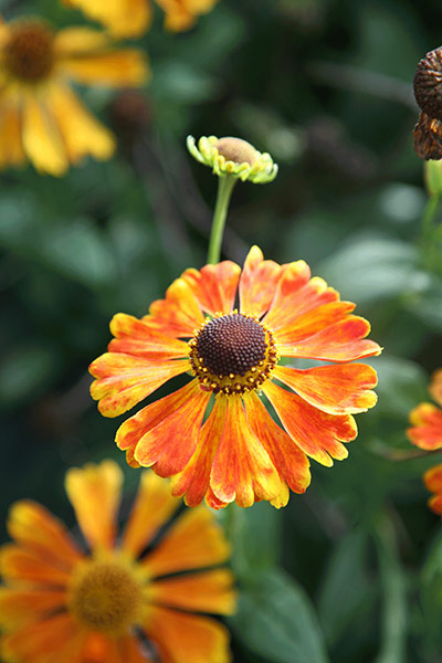 sneezeweed ( syn Waldtraut )