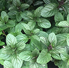 Mentha × piperita f. citrata Chocolate