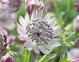 Astrantia 'Superstar' (PBR) (masterwort  ( Syn White Giant' ))