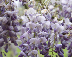 Click to view product details and reviews for Wisteria Sinensis Aposamethystapos Chinese Wisteria.