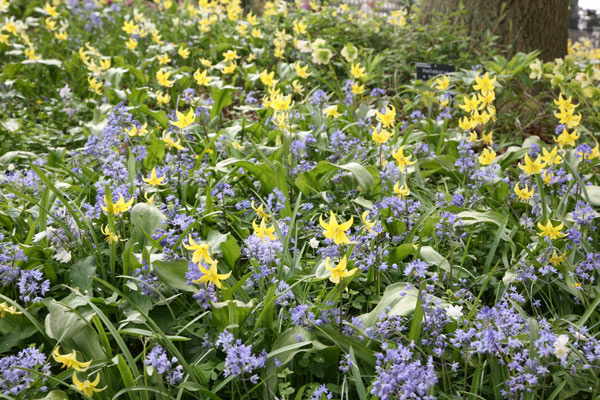 dog's tooth violet bulbs