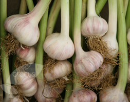 Click to view product details and reviews for Garlic Aposlautrec Wightapos Garlic Hardneck Bulb.