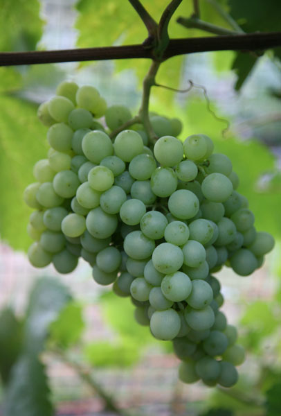 white wine grape Pinot Blanc