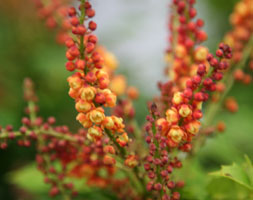 Click to view product details and reviews for Mahonia Nitens Aposcabaretapos Pbr Mahonia.