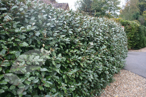 Buy Oleaster Elaeagnus 215 Ebbingei Delivery By Crocus