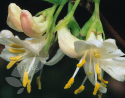 Lonicera Fragrantissima (Winter Honeysuckle)