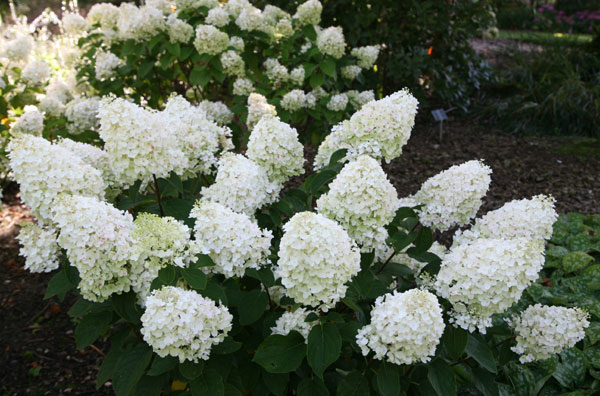 how to make a limelight hydrangea tree
