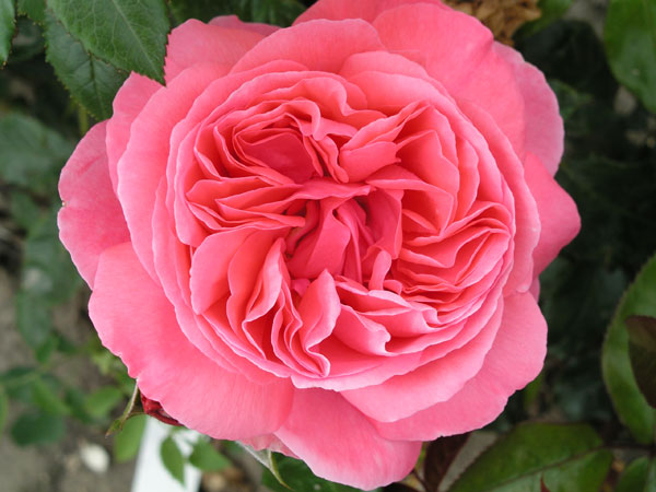 rose Special Anniversary (hybrid tea)