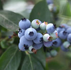 blueberry Chandler - mid - late fruiting