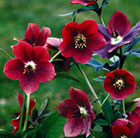 Helleborus × hybridus Red Lady (Lady Series)