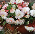 Begonia Mother's Day