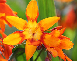 Click to view product details and reviews for Crocosmia X Crocosmiiflora Aposemily Mckenzieapos Montbretia Bulbs.