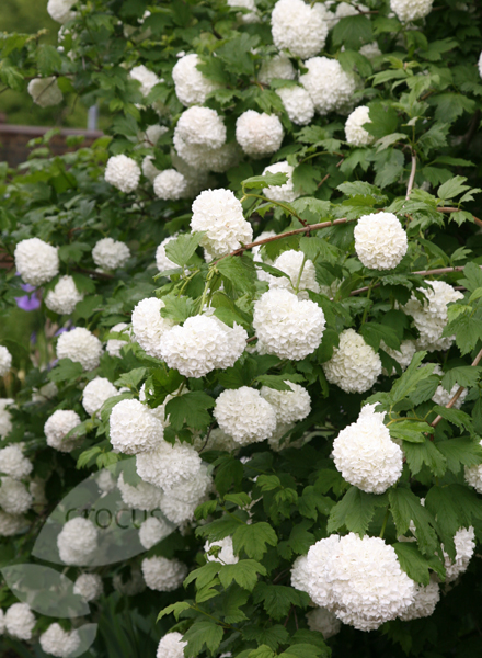 buy snowball tree syn sterile viburnum opulus 39 roseum 39 delivery by waitrose garden in. Black Bedroom Furniture Sets. Home Design Ideas