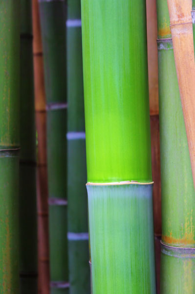 buy bamboo phyllostachys bissetii delivery by waitrose. Black Bedroom Furniture Sets. Home Design Ideas