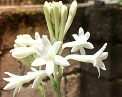 Click to view product details and reviews for Polianthes Tuberosa Hawaiian Garland Flower Tuberose.