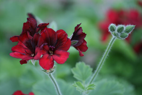 unique pelargoniums