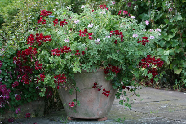 ivy-leaved pelargoniums