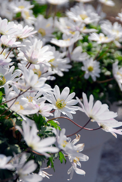 wood anemone bulbs