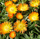 Delosperma Orange Wonder ('Wowdoy3') (Wheels of Wonder Series) (PBR)