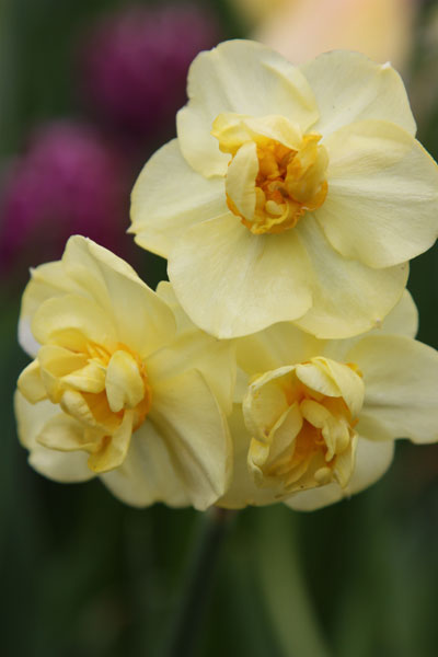 double daffodil bulbs