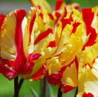 Tulipa Flaming Parrot