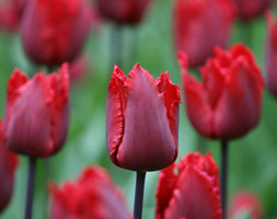 Click to view product details and reviews for Tulipa Aposred Hatapos Fringed Tulip Bulbs.