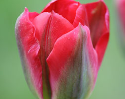 Tulipa 'Red Springgreen' (Viridiflora Tulip Bulbs)
