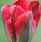Tulipa Red Springgreen