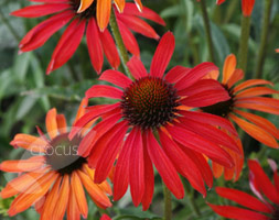 Echinacea 'Hot Summer (Pbr)' (Coneflower)