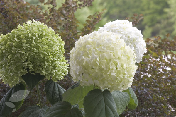 buy sevenbark syn incrediball strong annabelle hydrangea arborescens 39 incrediball 39 abetwo. Black Bedroom Furniture Sets. Home Design Ideas