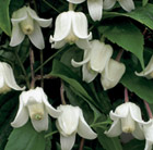 Clematis urophylla Winter Beauty