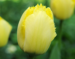 Click to view product details and reviews for Tulipa Aposfringed Eleganceapos Fringed Tulip Bulbs.
