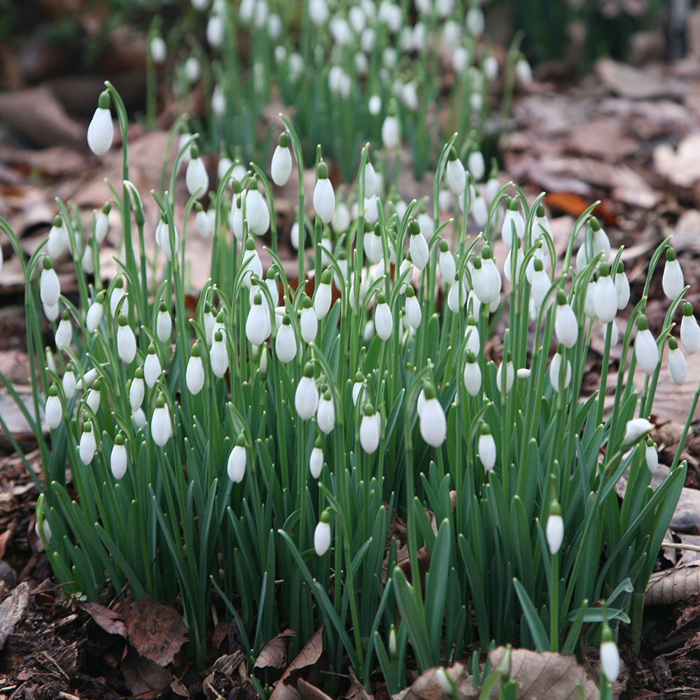 snowdrop bulbs