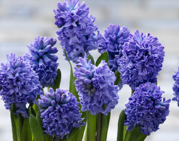 Click to view product details and reviews for Hyacinthus Orientalis Aposdelft Blueapos Garden Hyacinth Bulbs.