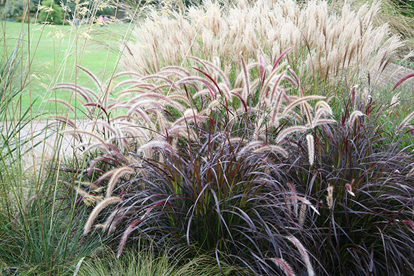 fountain grass ( syn setaceum 'Rubrum' )