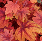 × Heucherella Sweet Tea (PBR)