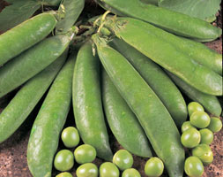 Click to view product details and reviews for Pea Aposearly Onwardapos Pea Pisum Sativum Aposearly Onwardapos.