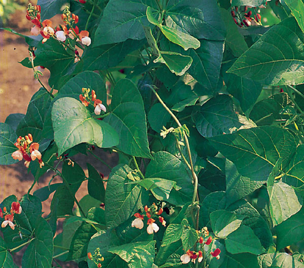 runner bean / Phaseolus coccineus 'Painted Lady'