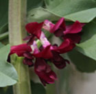 bean (broad) crimson-flowered
