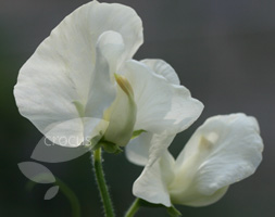 Lathyrus Odoratus 'Hunters Moon' (Spencer Sweet Pea Seed Hunters Moon)
