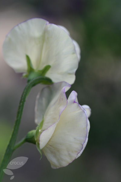 sweet pea seed modern grandiflora (syn king's high scent)