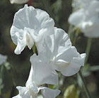 Lathyrus odoratus Royal Wedding